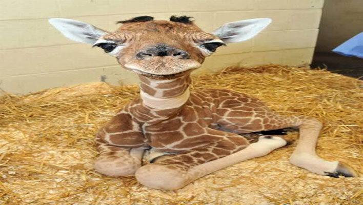 The Daily Paragraph – How Ya… Giraffe…?